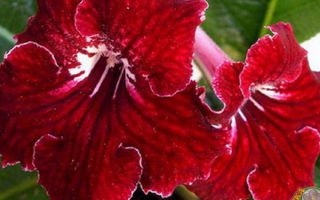 130 видов стрептокарпусов – выращивание и уход в домашних условиях, фото