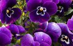 Виола Виттрока или анютины глазки — украшение для сада