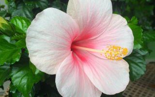 Если личная жизнь не ладится, причина может крыться в домашних растениях-мужегонах