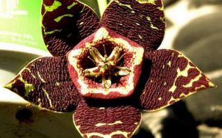 Загадочная иностранка стапелия — виды и фото