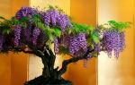 Жакаранда – фиалковое дерево