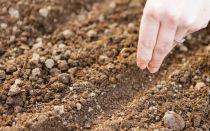 Посадка укропа в августе: 4 совета, которые помогут вырастить пышную зелень