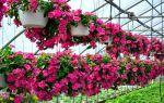 Катарантус – вечнозеленое многолетнее растение