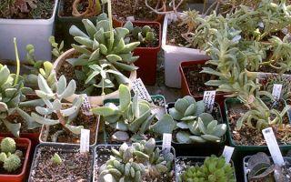 Адромискус: 11 популярных видов, уход и размножение
