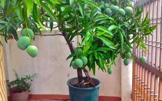 Как выращивать манго