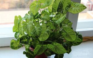 Сингониум: два вида тропической лианы для городской квартиры