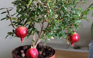 Сад в условиях обычной квартиры: 5 плодовых деревьев, которые можно вырастить дома