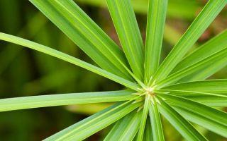 Циперус: виды с фото, условия выращивания и размножения