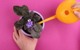 7 правил полива фиалок: если их соблюдать, растение будет цвести активнее