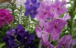 Орхидея Ванда: особенности посадки, размножения и ухода