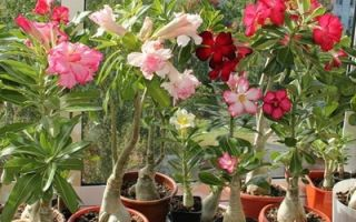 Как вырастить адениум из семян в домашних условиях