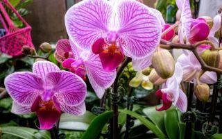 Почему орхидею иногда полезно поливать раствором перекиси водорода
