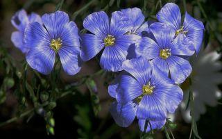 Какие цветы можно посеять на участке под зиму