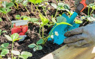 Уход за клубникой весной по всем правилам для рекордного урожая летом