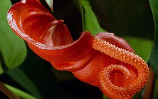 Антуриум Шерцера – 8 правил по уходу за экзотическим цветком