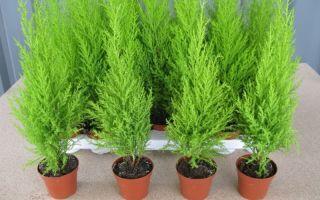 5 хвойных растений, которые можно выращивать в доме, а на Новый год наряжать вместо елки