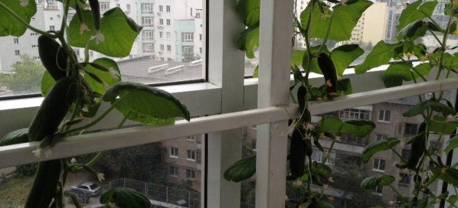 Огород на балконе: 5 культур, которые вырастить легче, чем цветы