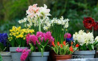 Луковичные цветы – в саду и на подоконнике