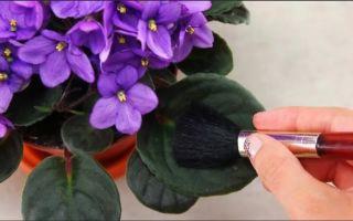 Как помыть листья фиалки, если простое протирание уже не помогает
