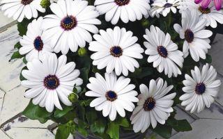 14 цветов, которые похожи на ромашку