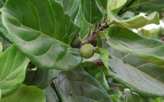 Фикус лировидный в тропиках живет на дереве, а дома – в горшке