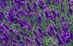 7 сортов лаванды можно запросто выращивать дома на подоконнике