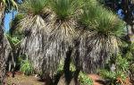 Девять видов нолины бокарнеи с фото