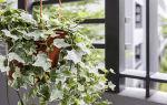 Растение – энергетический вампир: почему плющ не стоит выращивать дома