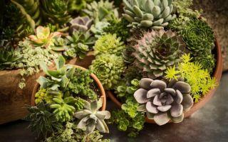5 веских причин выращивать в квартире суккуленты
