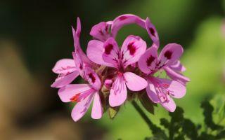 От белой розы до лайма: какие сорта герани пахнут как садовые цветы или фрукты