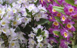 Дендробиум: орхидея, живущая на дереве