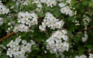 6 лечебных растений, которые легко вырастить в саду