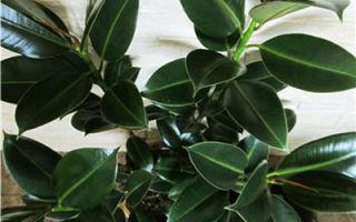 Фикус Мелани: советы цветовода по выращиванию и уходу