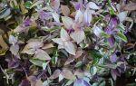 Надоели сплетники – посадите традесканцию: приметы и суеверия о цветке «Бабьи сплетни»
