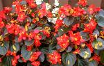 Семь сортов бегонии вечноцветущей — уход, описания, фото