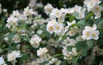Жасмин — цветок с прекрасным запахом