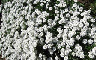 Иберис – цветущее облако