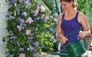 2 простые хитрости опытных садоводов для пышного и долгого цветения клематисов