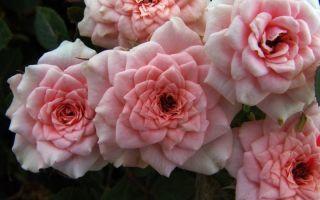 8 красивых сортов миниатюрных роз, которые можно выращивать в горшках