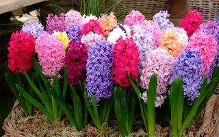 5 причин, почему у гиацинта короткий цветонос
