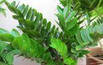 5 правил успешной пересадки долларового дерева, и зачем она вообще нужна