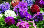 Комнатная примула обконика: 5 секретов выращивания