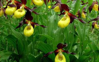 Орхидея Венерин башмачок: 17 популярных сортов, уход и размножение