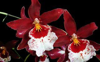 Камбрии: отдельный микромир семейства орхидных