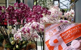Секреты использования янтарной кислоты для орхидей