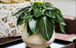 Пеперомия: 5 причин, чтобы растение стало вашим