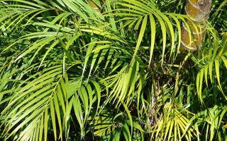 Пальма Арека: 6 важных советов по уходу и размножению