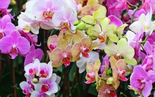 3 способа, как стимулировать орхидею фаленопсис, чтобы она зацвела