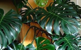 Филодендрон: виды растения и особенности выращивания в домашних условиях