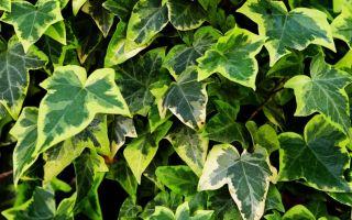 Хедера: описание растения, уход, выращивание, вредители
